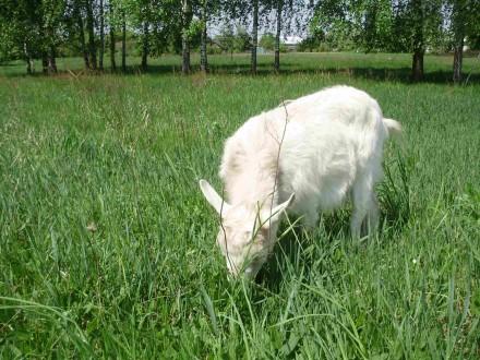 продам козу дойную. Репки. фото 1