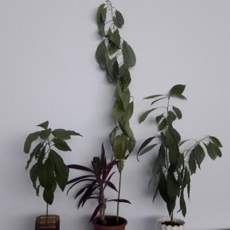 Авокадо. Тропическое растение возрастом от 1 года. Растения разной высоты. Могу . Днепр, Днепропетровская область. фото 4