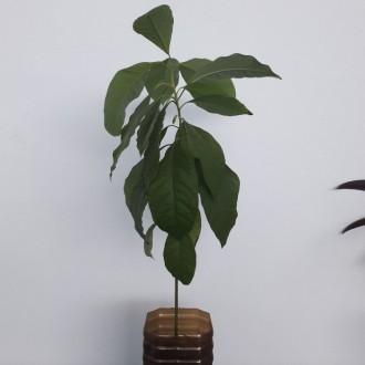 Авокадо. Тропическое растение возрастом от 1 года. Растения разной высоты. Могу . Днепр, Днепропетровская область. фото 3