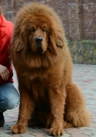 Великолепные породные щенки тибетского мастифа. Киев. фото 1