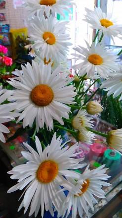 Многолетняя крупноцветковая ромашка, цветет с июня по сентябрь, хорошо разрастае. Люботин, Харьковская область. фото 5