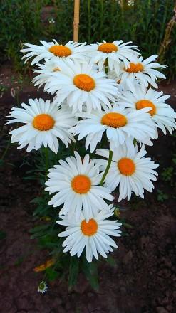 Многолетняя крупноцветковая ромашка, цветет с июня по сентябрь, хорошо разрастае. Люботин, Харьковская область. фото 4