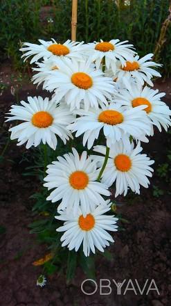 Многолетняя крупноцветковая ромашка, цветет с июня по сентябрь, хорошо разрастае. Люботин, Харьковская область. фото 1
