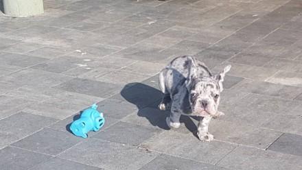 Продам щенков французкого бульдога. Дніпро. фото 1