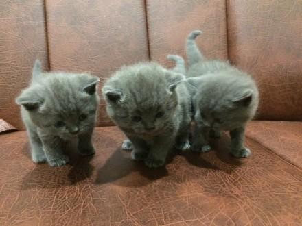 Продам Чистокровных Британских котят. Чернигов. фото 1