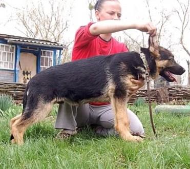 Старотипные щенки немецкой овчарки. Ржищев. фото 1