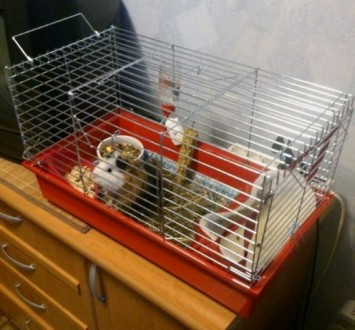 Продам морскую свинку с клеткой и всем необходимым!. Киев. фото 1
