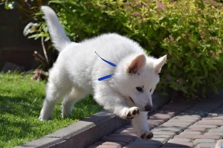 Белая швейцарская овчарка. Львов. фото 1