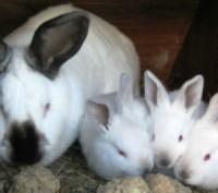Кролики  Калифорниские. Васильков. фото 1