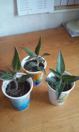 молодые растения каланхое,активно тронулись в рост  цена  за одно -15 грн. Чернигов, Черниговская область. фото 4
