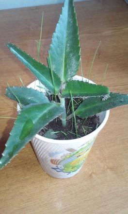 молодые растения каланхое,активно тронулись в рост  цена  за одно -15 грн. Чернигов, Черниговская область. фото 2