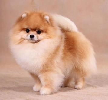 Возьму в дар щенка шпица в Днепропетровске. Днепр. фото 1