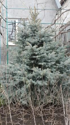 Голубая и обычная ель продам.. Одесса, Одесская область. фото 2