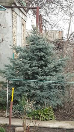 Голубая и обычная ель продам.. Одесса, Одесская область. фото 3