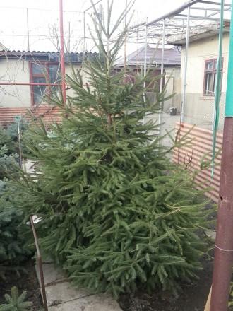 Голубая и обычная ель продам.. Одесса, Одесская область. фото 5