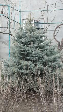 Голубая и обычная ель продам.. Одесса, Одесская область. фото 4