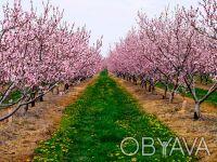 саженцы фруктовых деревьев. Запорожье. фото 1
