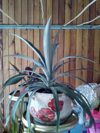 Продам ананас, питахайя и рео. По ценам звоните или пишите на вайбер.. Херсон, Херсонская область. фото 3
