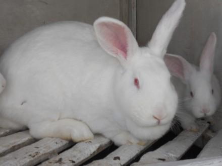 кролики білий панон. Самбор. фото 1