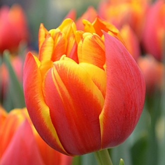 Продаются луковицы тюльпанов и ирисов на выгонку на 8 марта, Мелитополь. Мелитополь. фото 1