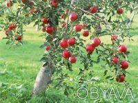 Саженцы плодовых деревьев. Запорожье. фото 1