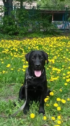 Любящие, верные, преданные щенки лабрадора-ретривера. Купи счастье.. Киев. фото 1