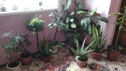 Продам комнатные растения. Декоративнолиственые, декоративноцветущие и кактусы. . Мариуполь, Донецкая область. фото 5