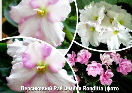 Распродаю сорт Персиковый Рай и Ronditta. Первомайск. фото 1