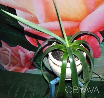 Продаю комнатное лекарственное суккулентное растение Агава американская,голубая.. Обухов, Киевская область. фото 1