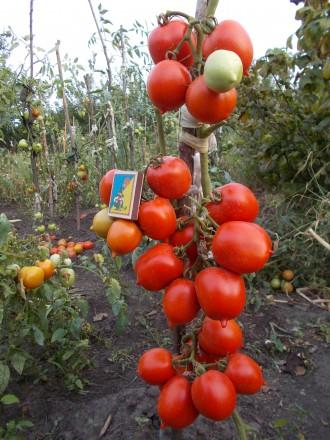 Семена томатов (сорт Снегурочка).. Конотоп. фото 1