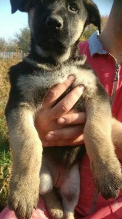 Продам чистокровных щенков Восточно-европейской овчарки от хороших родителей. Киев. фото 1