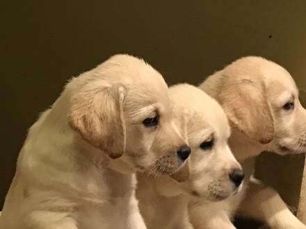 Продаются щенки лабрадора ретривера палевого окраса. Киев. фото 1