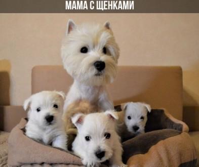 Продаются щенки Вест хайленд уайт терьера. Київ. фото 1