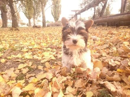 Продам щенка бивер-йорк. Херсон. фото 1