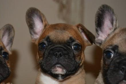 Продаю собак французького бульдога. Винница. фото 1