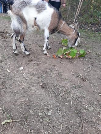 Продам молочну козу.. Черновцы. фото 1