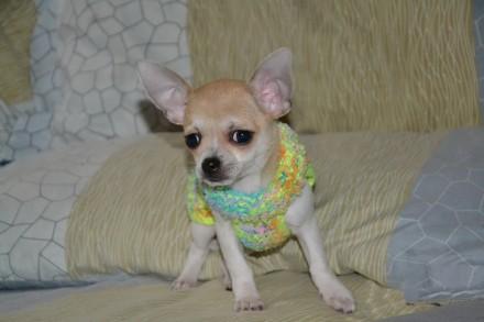 Чихуахуа Мелкий стандарт  Девочка со своей вязаной одёжкой. Киев. фото 1