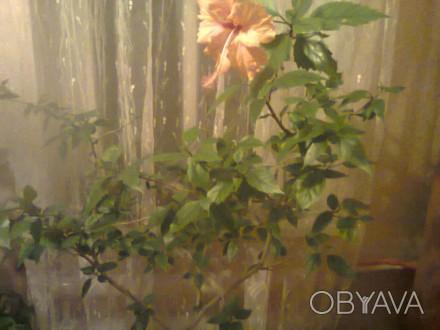 продается гибискус цветок красный и персиковый.. Мелитополь, Запорожская область. фото 1