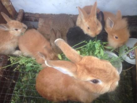 Дуже красиві декоративні кролики. Бровары. фото 1