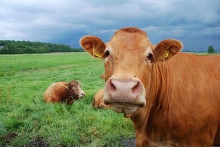 Продаем и доставляем по Чернигову и городу. Навоз коровий, перегной лежалый, зем. Чернигов, Черниговская область. фото 2