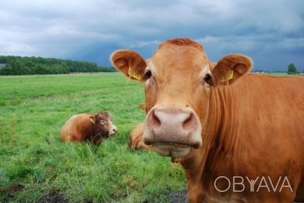 Продаем и доставляем по Чернигову и городу. Навоз коровий, перегной лежалый, зем. Чернигов, Черниговская область. фото 1