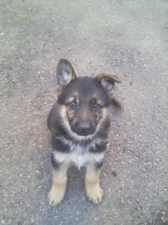 Продам щенков немецкой овчарки. Житомир. фото 1