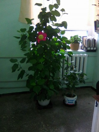 Китайская роза. Геническ. фото 1