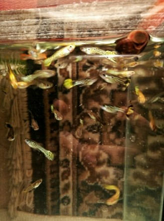 рыбки гуппи. Чернигов. фото 1