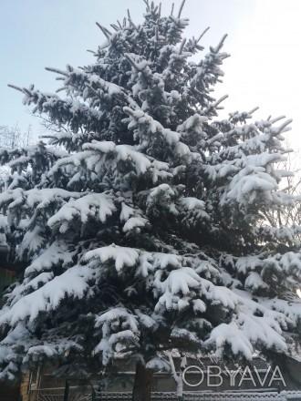 Продам голубую ель под срез с самовывозом. Красивое, пышное дерево, высота более. Киев, Киевская область. фото 1