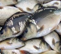 Продам рыбу оптом. Гайсин. фото 1
