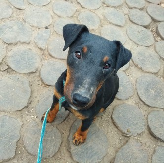 Продам щенка немецкого ягдтерьера. Гадяч. фото 1