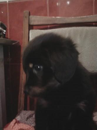 Отдам щенков в хорошие руки!. Сумы. фото 1