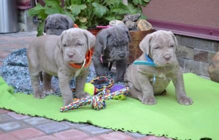 Продаються щенята Мастiно-неаполiтано. Мукачево. фото 1