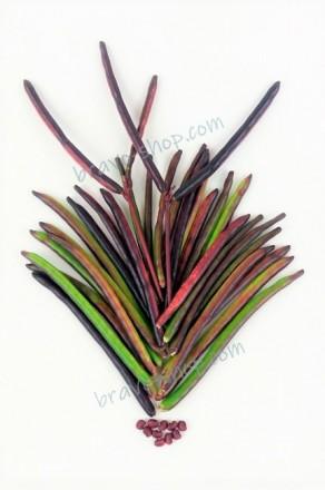 Фасоль вигна Роуге, для спаржевого использования, кустовая, 25 семян. Белая Церковь. фото 1